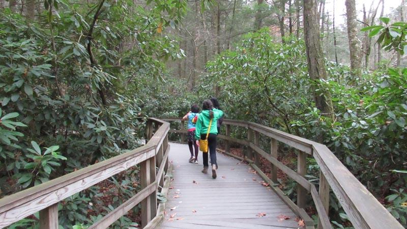 Walking through a dense rhododendron shrub forest.